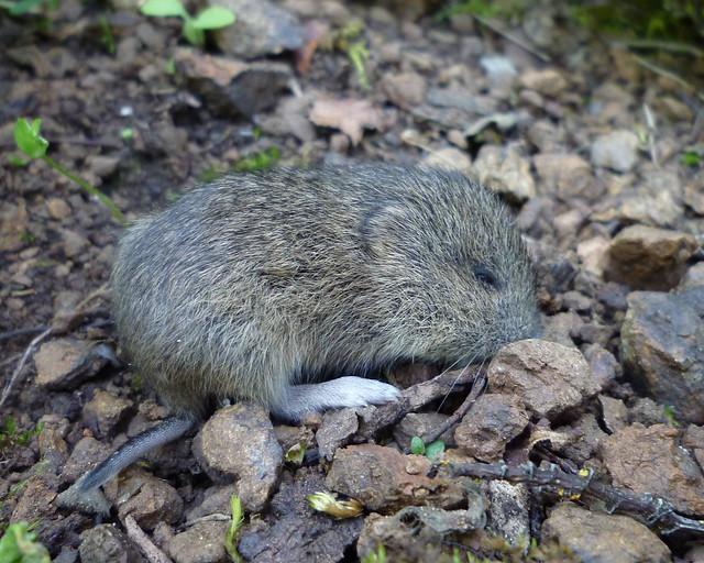 too cute baby california vole