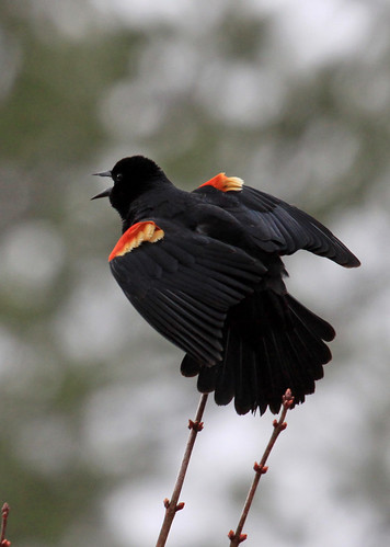 Red-winged Blackbird detail