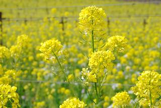 20100328 Mustard on Mustard