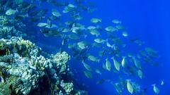 deep sea fish(0.0), coral reef(1.0), coral(1.0), fish(1.0), coral reef fish(1.0), marine biology(1.0), natural environment(1.0), underwater(1.0), shoal(1.0), reef(1.0),