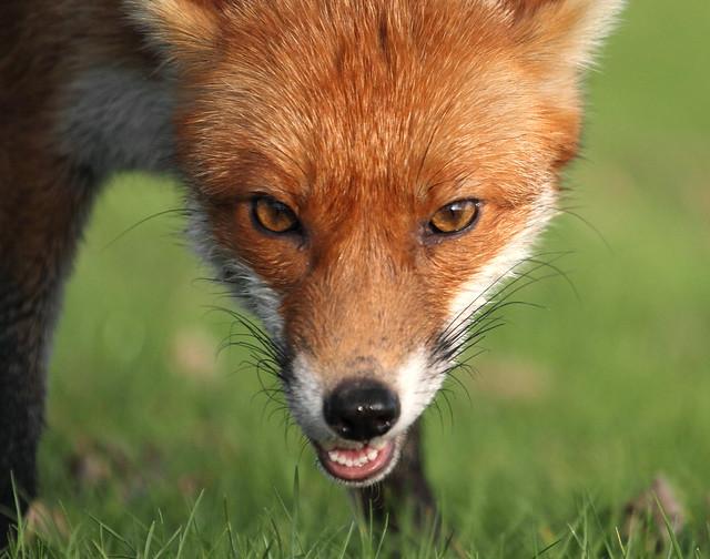 name fox eyes - photo #23