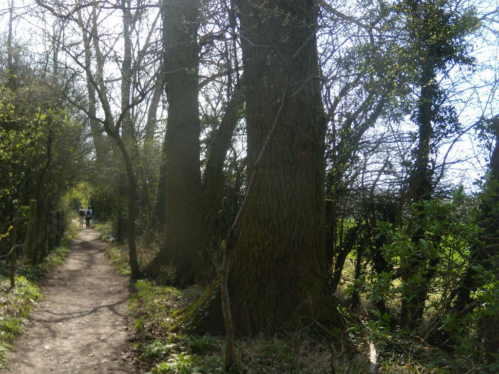 Big trees, Wilstone Reservoir Tring to Wendover