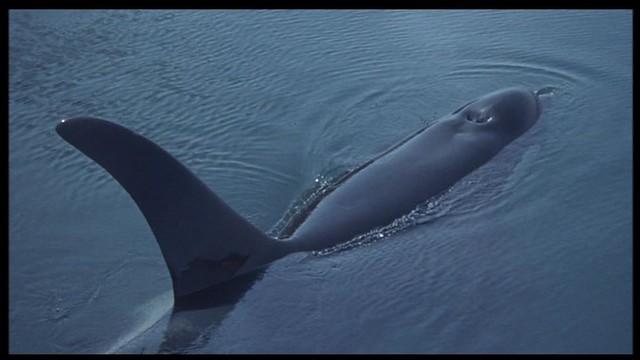 Orca the killer whale movie