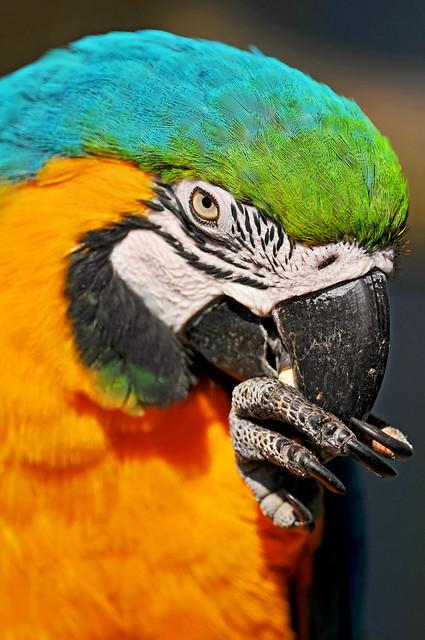 Macaw eating popcorn
