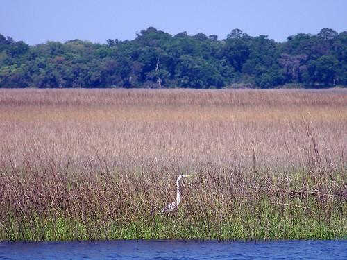 Inhabitant of the Salt Marsh