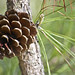 Loblolly Pine - Photo (c) Alicia Pimental, some rights reserved (CC BY)
