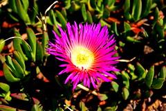 blossom(0.0), shrub(0.0), wildflower(0.0), cactus family(0.0), dorotheanthus bellidiformis(1.0), flower(1.0), leaf(1.0), yellow(1.0), plant(1.0), nature(1.0), macro photography(1.0), flora(1.0), close-up(1.0), ice plant(1.0), petal(1.0),