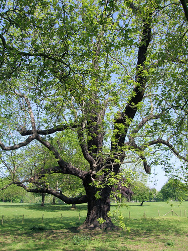 black walnut hugelkulture