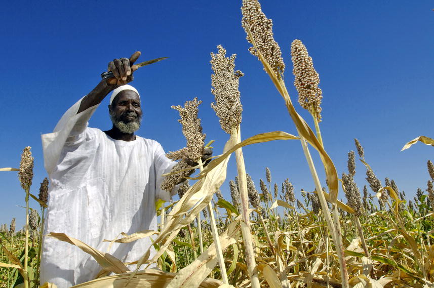 蘇丹農民收成的這片高粱田,種子是由聯合國糧食署援贈。(source:UN Photo/Fred Noy)