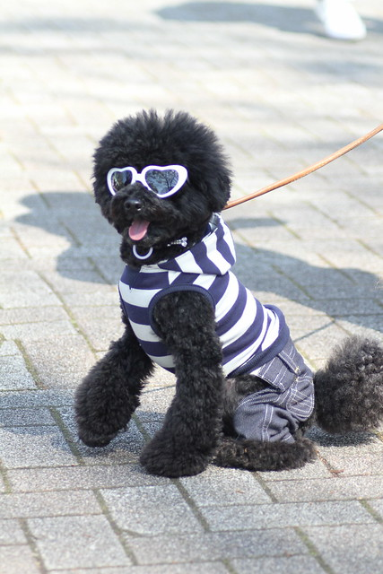 Dog Wearing Sunglasses, T-Shirt & Jeans