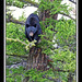 Mama Black Bear in a tree, Yellowstone - 5224bfsg
