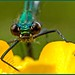 Another Banded Demoiselle. by anthonynixon17