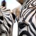 Yo zebras