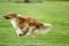 tibetan spaniel(0.0), golden retriever(0.0), dog breed(1.0), animal(1.0), kooikerhondje(1.0), dog(1.0), pet(1.0), mammal(1.0), nova scotia duck tolling retriever(1.0), phalã¨ne(1.0), spaniel(1.0),