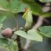 Hibiscadelphus hualalaiensis