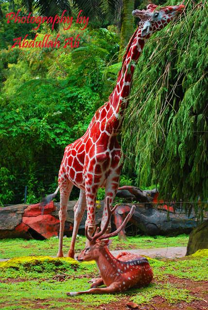N. Laryngeus Recurrens Giraffe Giraffe and gazelle   ...