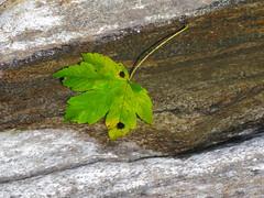 Leaf, submerged