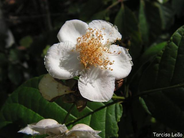 Campomanesia dichotoma, guabiraba