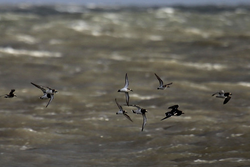 waders, turnstones (Arenaria interpres) and dunlins (Calidris alpina), flying into the gale