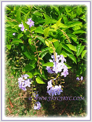 Duranta erecta 'Geisha Girl' (Pigeon Berry, Golden Dewdrop, Skyflower) with captivating clusteres of pendulous flowers, 6 May 2009