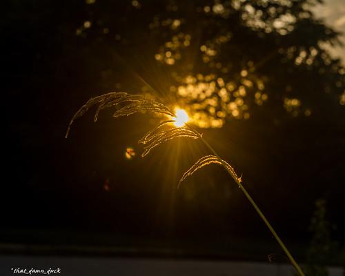 sunset nature sundown sun sunrays wheatgrass