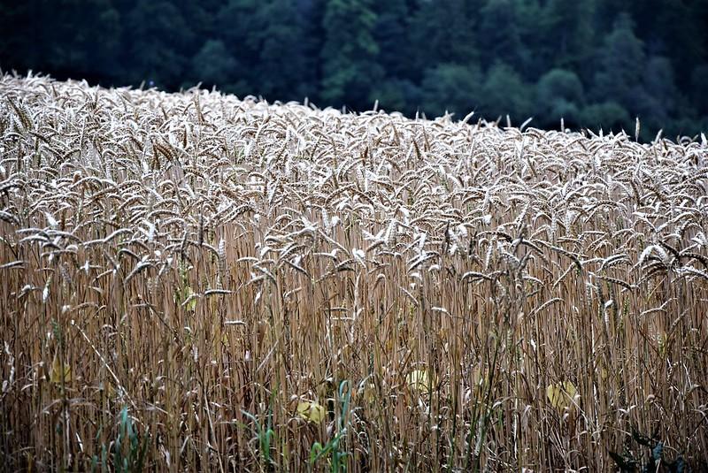 Wheat 02.07 (1)