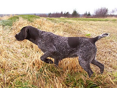 dog breed, animal, german longhaired pointer, dog, grand bleu de gascogne, pet, braque francais, pointer, braque d'auvergne, german wirehaired pointer, german shorthaired pointer, hunting dog, carnivoran,