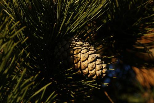 sony pinecone sonyalpha sonya300 sony18250