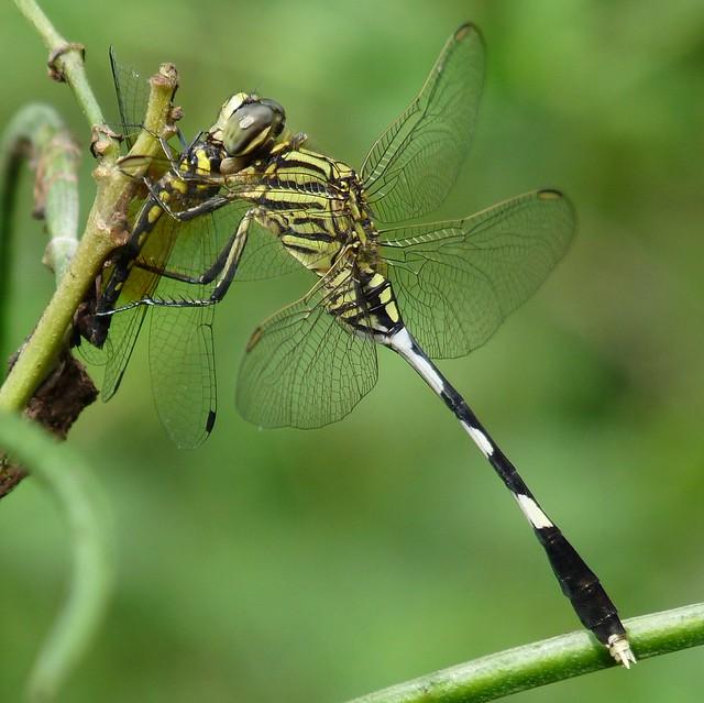 Green Marsh Hawk   Flickr - Photo Sharing!