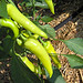 banana pepper bush