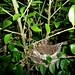Small photo of Wren's nest