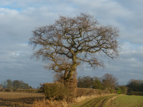 Tree in hedgerow