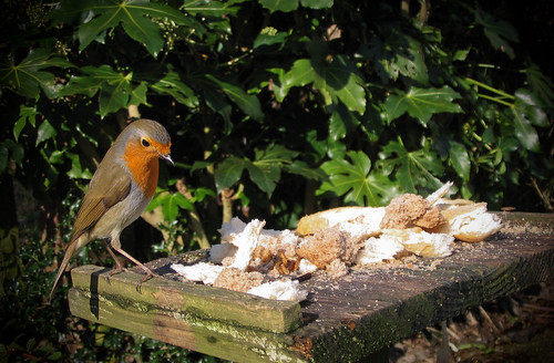 European Robin on Bird Table