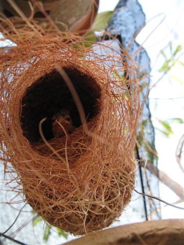 Sarang burung   Flickr - Photo Sharing!