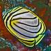 Scrawled butterflyfish - Chaetodon meyeri by divemecressi
