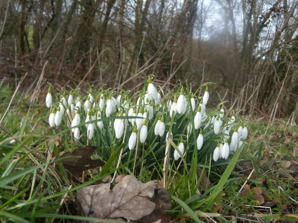 Snowdrops Witley to Haslemere