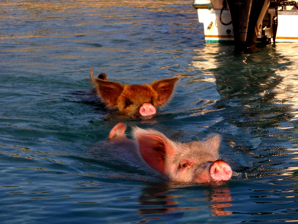 Swimming pigs!!