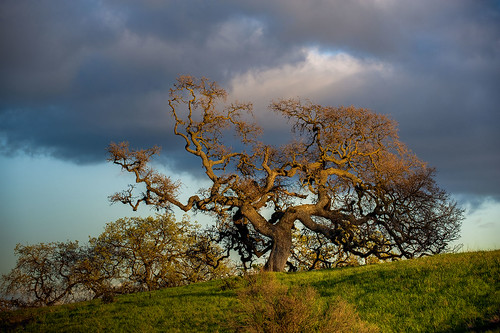 california ca sunset usa tree us oak day unitedstates cloudy paloalto hdr gnarled exposureblending photomatix dishtrail standforduniversity