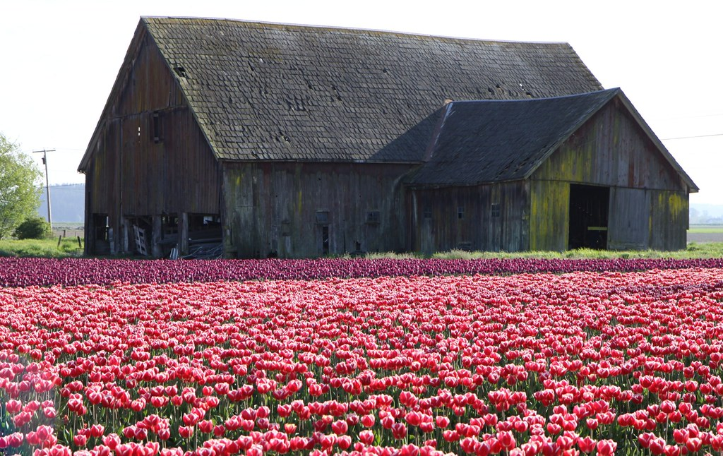 It was a late spring and we were lucky to still catch the tulips blooming in May.  We were riding our bikes in the Mt Vernon area when I spotted this barn and knew it would make a great photograph wit