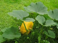 Gartenkürbis (Cucurbita)