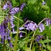 Bluebells 4 by Eileen Owens - Photography.