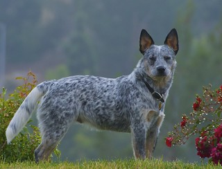 Early morning Cattle dog