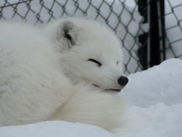 开心消消动物白狐狸图片