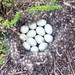 Small photo of A baker's dozen eggs in a downy nest