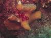 Bonaire Frog Fish