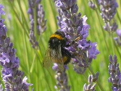 pollinator, animal, honey bee, flower, english lavender, nature, lavender, invertebrate, lavender, macro photography, membrane-winged insect, herb, wildflower, flora, fauna, meadow, bee, bumblebee,