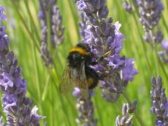 nectar(0.0), lavandula stoechas(0.0), pollinator(1.0), animal(1.0), honey bee(1.0), flower(1.0), english lavender(1.0), nature(1.0), lavender(1.0), invertebrate(1.0), lavender(1.0), macro photography(1.0), membrane-winged insect(1.0), herb(1.0), wildflower(1.0), flora(1.0), fauna(1.0), meadow(1.0), bee(1.0), bumblebee(1.0),