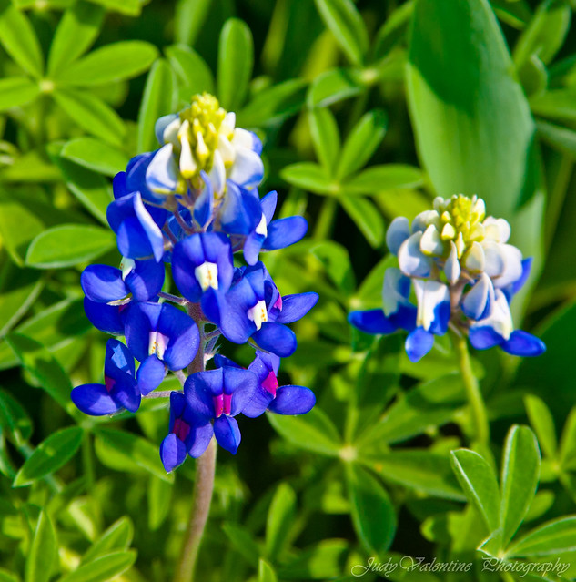 Blue Bonnet, Texas State Flower!