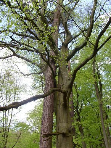 Zwei Bäume umarmen sich