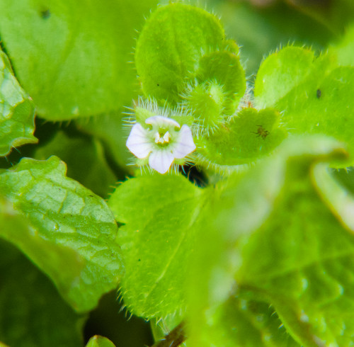 Ivy leaved speedwell